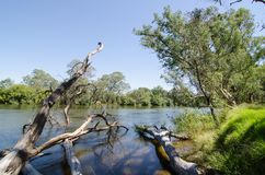 Großer toter Baum und grüner Wald neben Murray River ist Australien-` s längster Fluss bei Albury, New South Wales lizenzfreie stockfotografie