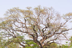 Großer Treetop. Stockfotos