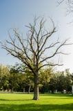 Großer trockener Baum ohne Blätter und auf grünen Blättern, Konzept von Trockenheit umgeben bis zum dem Leben stockfotos