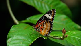 Großer tropischer Schmetterling, der auf grünem Blatt sitzt stock video footage