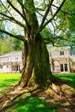 Großer und alter Baum mit dem Verdrehen wurzelt in Lakewood, WA Stockfotografie