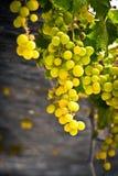 Großer und schöner Zweig der Trauben Stockbild