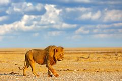Gro?er ver?rgerter m?nnlicher L?we in Etosha NP, Namibia Afrikanischer L?we, der in das Gras, mit sch?nem Gl?ttungslicht geht Sze stockfoto