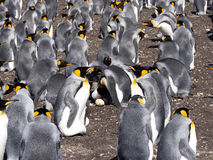 Großer Verschachtelungskolonien-Königpinguin, Aptenodytes patagonicus, freiwilliger Punkt, Falkland Islands - Malvinas Stockbild