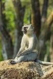 Großer vervet Affe, der auf einem Felsen sitzt Lizenzfreies Stockfoto