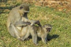 Großer vervet Affe, der Baby nach Zecken sucht Lizenzfreie Stockfotos