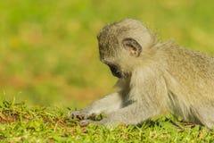 Großer vervet Affe, der Baby nach Zecken sucht Stockfoto