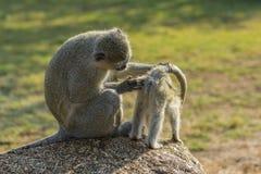Großer vervet Affe, der Baby nach Zecken sucht Stockfotos