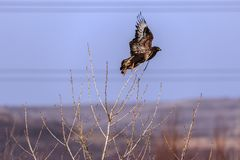Großer Vogel, Adler Stockfoto