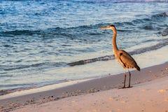 Großer Vogel auf dem Strand am Sonnenaufgang Lizenzfreies Stockfoto