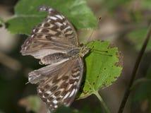 Großer Wald der Perle (Lat. Interesse Argynnis paphia) Lizenzfreie Stockfotos