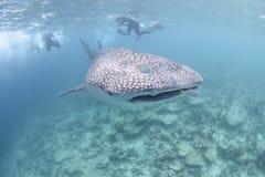 Großer Walhai, der in Richtung zu Ihnen sich nähert stockfotografie