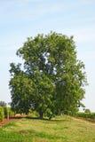 Großer Walnussbaum Stockbilder