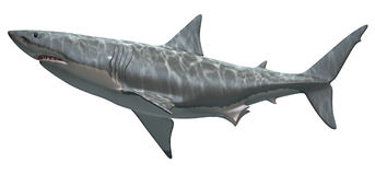 Großer weißer Haifisch Stockfotos