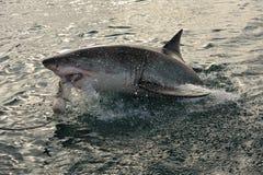 Großer weißer Haifisch (Carcharodon Carcharias) lizenzfreies stockbild