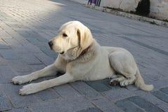 Großer weißer Hund, der auf Bürgersteig liegt Stockfotos