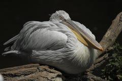 Großer weißer Pelikan Stockfotos