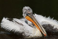 Großer weißer Pelikan stockbilder