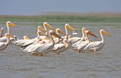Großer weißer Pelikan Stockfotografie