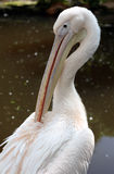 Großer weißer Pelikan lizenzfreie stockbilder