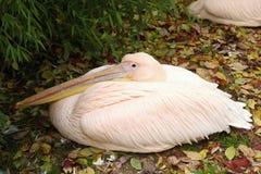 Großer weißer Pelikan Stockbild