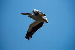 Großer weißer Pelikan Lizenzfreie Stockfotos