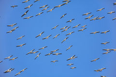 Großer weißer Pelikan Lizenzfreies Stockfoto