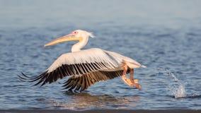 Großer weißer Pelikan, der Flug, Walvis-Bucht, Namibia nimmt lizenzfreie stockfotografie