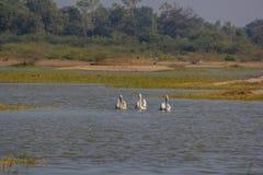 Großer weißer Pelikan des Morgenspaziergangs drei lizenzfreie stockfotos