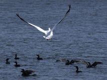 Großer weißer Pelikan im Flug Lizenzfreie Stockfotos