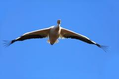 Großer weißer Pelikan im Flug Stockfoto