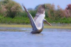 Großer weißer Pelikan, Pelecanus onocrotalus Stockfotos