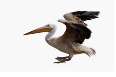 Großer weißer Pelikan (Pelecanus onocrotalus) Lizenzfreie Stockfotografie