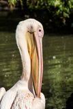 Großer weißer Pelikan, Pelecanus onocrotalus Lizenzfreies Stockfoto