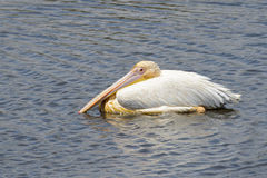 Großer weißer Pelikan (Pelecanus onocrotalus) im Wasser Lizenzfreies Stockfoto