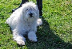 Großer weißer rauhaariger Hund lizenzfreies stockfoto