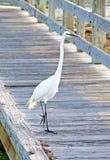 Großer weißer Reiher auf einem Strandgehweg Lizenzfreies Stockfoto