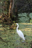 Großer weißer Reiher in der sechs Konserve Meilen-Zypresse Slough stockfotografie