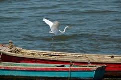 Großer weißer Reiher, der weg vom Boot fliegt Lizenzfreie Stockfotos
