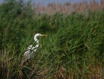 Großer weißer Reiher Egreta alba Fischen Stockfotografie