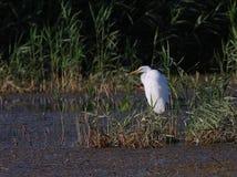 Großer weißer Reiher Egreta alba Fischen Lizenzfreies Stockbild