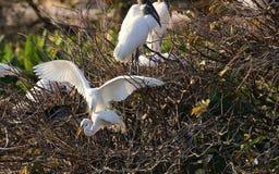 Großer weißer Reiher mit breiten Flügeln stockfotografie