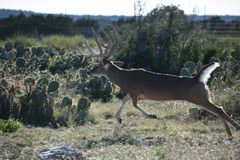 Großer weißer Schwanz Buck Deer lizenzfreies stockfoto