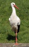 Großer weißer Storch Stockfotografie