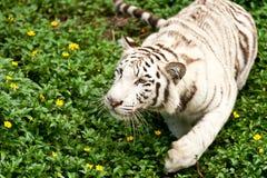 Großer weißer Tiger Lizenzfreies Stockfoto