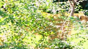 Großer weiblicher Lion Walks Along eine Steinwand durch Greenary im Sommer stock footage