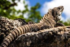 Großer wilder ein Sonnenbad nehmender Leguan stockfotos