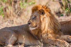Großer wilder männlicher Löwe steht unter einem Baum in Afrika still Lizenzfreies Stockfoto