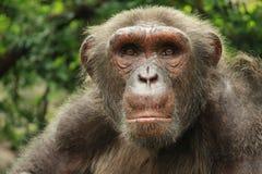 Großes Affenschauen Stockbilder
