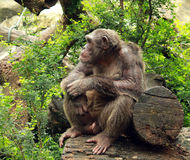 Großes Affenschauen Stockfotografie